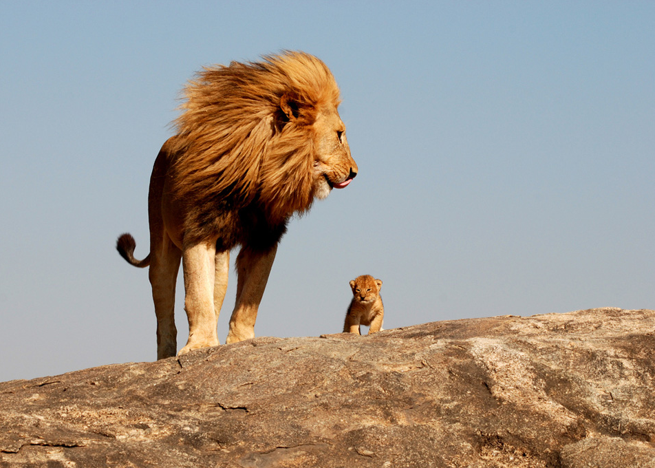 Lion-Father-Son